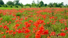 an expanse of poppies in a field in spring - stock footage