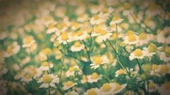 Vintage look on the sunny chamomile field Stock Footage