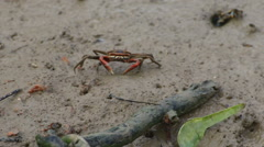 Horn-eyed crab. Stock Footage