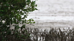 Mangrove swamp plant. Stock Footage