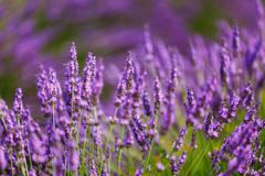 Beautiful Blooming Lavender Flowers. Summer season in Provence - stock photo
