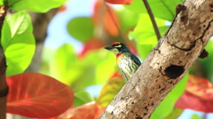 Coppersmith barbet . Stock Footage