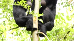 Siamang ( Hylobates syndactylus ) inflate neck pouch to produce hoots and shriek Stock Footage