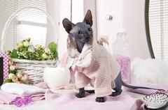 Don Sphinx kitty dressed in pajama - stock photo