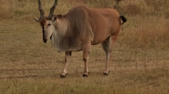 Male Eland grazing - close-up.mp4 Stock Footage