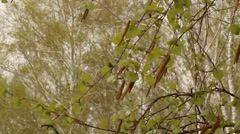 Spring birch leaves in the forest Stock Footage