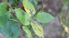 Black spot disease on roses Stock Footage