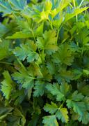 Bunch of Parsley - stock photo