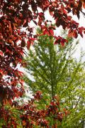 Composition with Cherry Plum Leaves and poplar - stock photo