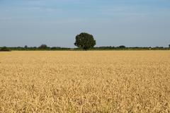 Sunny landscape with planting or cultivation of cereals Stock Photos