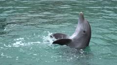 Common bottlenose dolphin (Tursiops truncatus) Stock Footage