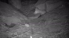 Red Fox Den Pups Playing Stock Footage