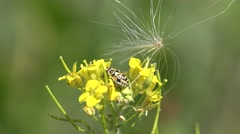 Yellow flower, insect beetle, herbarium Stock Footage