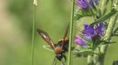 Insect, large wasp, hornet crawling on flowers collecting nectar Stock Footage
