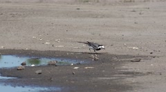 Wagtail bird runs quickly, shaking its tail and have insect Stock Footage