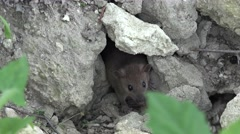 Wild animal Brown rat lives among stones in burrows, runs out of food Stock Footage