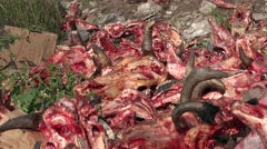 Horrible place, fresh dump of bones and skulls of dead cows Stock Footage