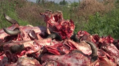 Horrible place, fresh dump of bones and skulls of dead cows - stock footage