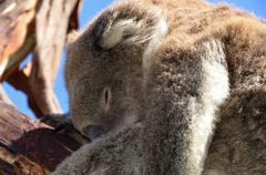Koala sleeping on the  eucalyptus tree in nature Australia Stock Photos
