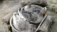 Goose sitting in a tin bath. Group of goose lying in the grass - stock footage