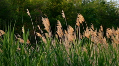 Reed in calm weather Stock Footage