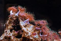 Anemone actiniaria underwater looks like a flower. - stock photo