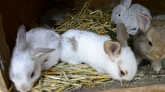 Many young bunnies in a shed. A group of small rabbits feed in barn yard Stock Footage
