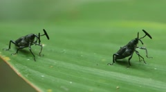 two exotic snout beetle on the tree leaf - stock footage