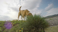 A slow motion footage of a beagle sniffing the ground while on the walk Stock Footage