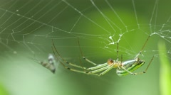 Golden orb weaver spider hanging on the web Stock Footage