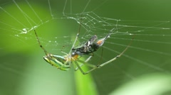 Golden orb weaver spider eating prey Stock Footage