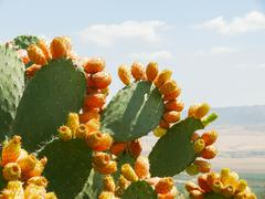 Cactus with edible buds. Tunisia. - stock photo