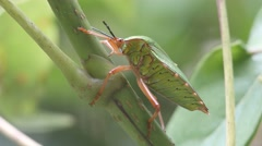 giant sting bug sucking the food from the tree branch - stock footage