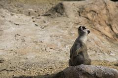 Suricate on alert Stock Photos