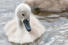 White Swan hatchling. Stock Photos
