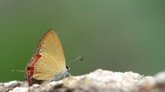 Gossamer-winged butterfly drinking mineral from rock Stock Footage