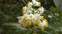 Flowering bush (Miconia sp., Melastomataceae) in the cloudforest Stock Footage