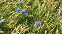 Cornflower in the middle of a wheat field Stock Footage