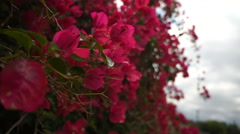 Bougainvillea blowing in the wind Stock Footage