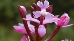 Terrestrial orchid Epidendrum jamiesonis flowering in the cloudforest - stock footage
