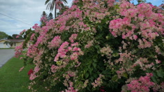 Pink Bougainvillea Plant Stock Footage