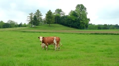 Cows grazing in a meadow Stock Footage