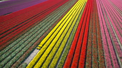 Slow motion aerial view of the tulip fields in North Holland , The Netherlands Stock Footage