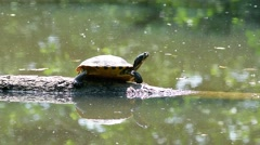 Turtle in the sun in the middle of the pond Stock Footage