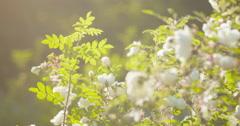 white tender rose flowers on briar bush focus pulled - stock footage