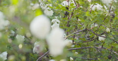 white tender rose flowers on briar bush focus pulled - stock footage