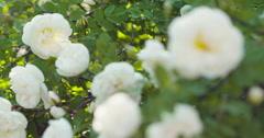 White tender rose flowers on briar bush focus pulled Stock Footage