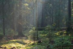 Sunbeam entering coniferous stand in misty morning,BIalowieza Forest,Poland,E Stock Photos