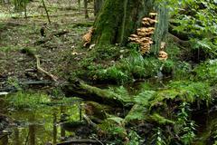 Sulphur Shelf fungi Stock Photos