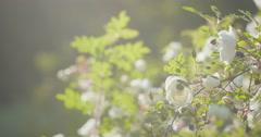 white tender rose flowers on briar bush pan move - stock footage